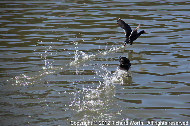 Securing the lead - American Coots compete - racing at the San Leandro Marina, San Leandro, California.