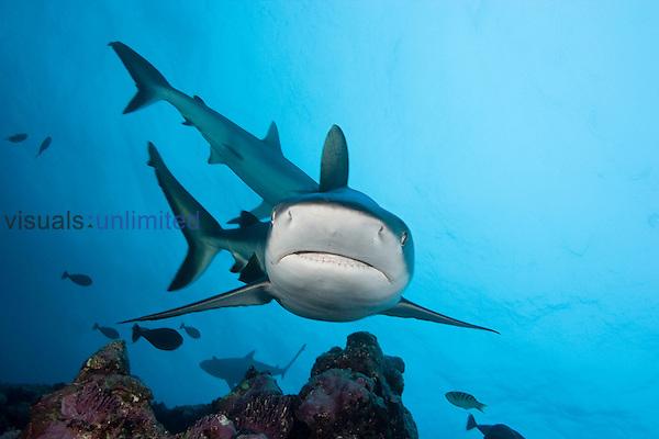 Gray Reef Sharks (Carcharhinus amblyrhynchos), Yap, Micronesia.