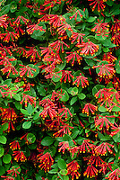 Honeysuckle, Lonicera brownii  -- PANTONE 2011 COLOR OF THE YEAR