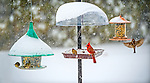 Merrick, New York, USA. January 23, 2016. Travel is strictly for the birds, when Blizzard Jonas brings dangerous snow and gusting winds to Long Island, and Governor Cuomo bans travel, shutting down L.I.'s roads and railroads, due to hazardous conditions. A red male cardinal and several wrens eat seeds from a variety of hanging bird feeders in a suburban backyard, as the winter Storm of 2016 already dropped over a foot of snow on the south shore town of Merrick, with much more snow expected throughout Saturday and early Sunday.