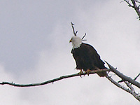 Bald Eagle in Rocky Mountains