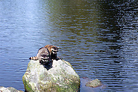 Two Wild Raccoons (Procyon lotor) sitting on Rock in Lake