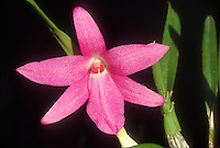 Isabelia violacea 'Christopher Bailes', Orchid species