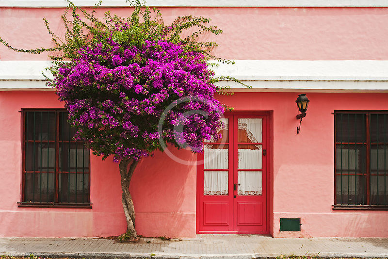 Uruguay, Colonia de Sacramento, Pink painted historic building with Bougainvillea tree