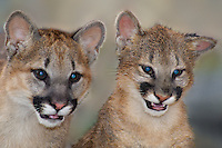 656320008 captive wildlife rescue mountain lion cubs wichita a male and zuna a female felis concolor at the wildlife waystation wildlife recovery and care facility in southern california