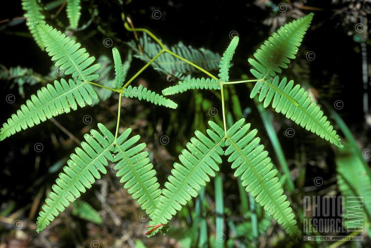Uluhe, False Staghorn fern (Dicranopferis sp.), native