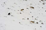 Wolves in the Druid pack run along a snowy hillside in  Yellowstone National Park, Wyoming.