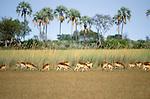 Lechwe graze in marshland, Okavango Delta, Botswana