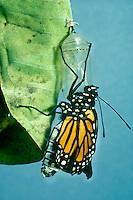 A newborn Monarch Butterfly, Danaus plexippus, hangs from its sac after emerging from Chrysalis