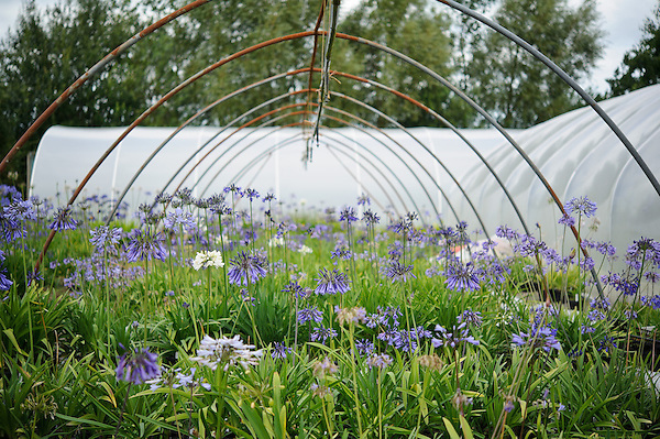 Agapanthus - Pine Cottage Nurseries