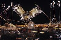Barred Owl (Strix varia), adult landing on log in frozen pond, Raleigh, Wake County, North Carolina, USA