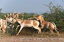 Dominant male Indian wild ass chasing female to mate (Equus hemionus khur), dry season