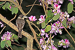 Grey Butcherbird surrounded by Pink Orchid Tree flowers, Mt Coot-tha, Brisbane, Australia.  //  Grey Butcherbird - Artamidae: Cracticus torquatus. Length to 25cm, wingspan to NNcm, weight to NNg. Widespread in woodland habitats throughout Australia, except for rainforests. An active species with a range of vigorous flute-like calls, as well as a distinctive 'whisper song' when it quietly imitates other species occurring in its territory. Carnivorous, preying upon small vertebrates and a variety of invertebrates. Occasionally stores prey on a sharp thorn or branchlet for later dissection, leading to the common name, and the sobriquet 'Thorn Bird.' IUCN Status: Least Concern.  /  Pink Orchid Tree - Fabaceae: Bauhinia variegata. Height to 12m, DBH to 1m, canopy diameter to 10m. Originally from south-east Asia, including India, Pakistan and southern China. Also known as Camel's Foot Tree, Orchid Tree, and Mountain Ebony. An attractive street tree in tropical and sub-tropical areas, flowering during spring, when following suitable seasons tree are laden with flowers. Flowers may sprout directly from a branch or lower trunk - a phenomena known as cauliflory. IUCN Status: Least Concern.   //  Dr Eric Lindgren, EL, PS.