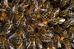 Honey Bee, Apis mellifera, inside hive, showing large queen bee and workers touching her to get queen scent, social, network, .United Kingdom....