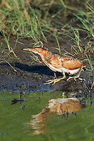508730006 a wild adult female least bittern ixobrychus exilis walks along the edge of a pond in the anahuac national wildlife refuge in texas