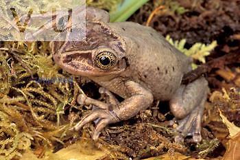 Female Brazilian Casque-headed Frog ,Trachycephalus jordani,, Brazil.