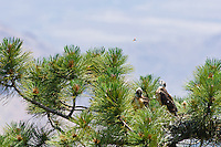 Short-tailed Hawk (Buteo brachyurus) nestlings, watching a Tarantula Hawk (Pepsis chrysothemis) above the nest; Arizona (Nesting Record)