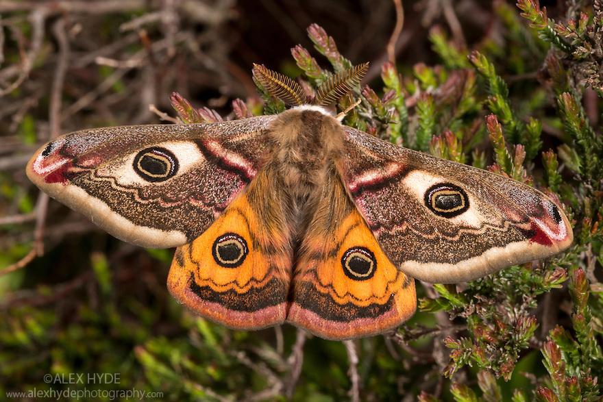 Emperor moth male {Saturnia pavonia} resting on heather, Peak District National Park, UK. April.
