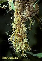 1M05-108z  Praying Mantis Nymphs hatching from egg case - Chinese Praying Mantis - Tenodera aridifolia sinensis