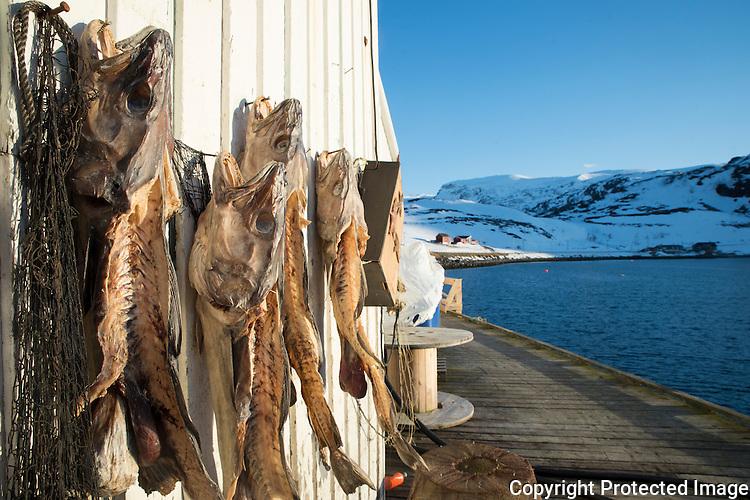Torsk til tørk i solveggen på brygga i Hønseby. ---- Cod hung to dry.