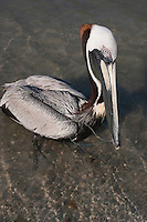 Brown Pelican (Pelecanus occidentalis) in danger from being tangled in fishing line, Ft. Myers, Florida, USA.