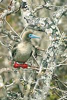 The red-footed Booby is the smallest of all boobies and is found in several variations of white and brown morphs. Most red-footed booby's in the Galápagos are brown. They nest primarily in the northern outlying Islands visited by only the quickest of tourist ships..