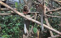 Singes Titi roux (Callicebus cupreus), dans la loge de la Grande Serre, zone Guyane, new Parc Zoologique de Paris, or Zoo de Vincennes, (Zoological Gardens of Paris, also known as Vincennes Zoo), Museum National d'Histoire Naturelle (National Museum of Natural History), 12th arrondissement, Paris, France. Picture by Manuel Cohen