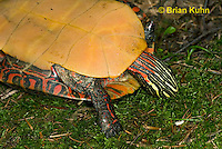 1R13-9071  Painted Turtle - Chrysemys picta, © Brian Kuhn/Dwight Kuhn Photography