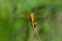 362700047 a wild immature male band-winged meadowhawk sympetrum semicintum perches on a wild grass stem near a bog pond in central modoc county california