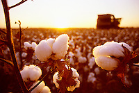 Agriculture - Cotton Bolls close-up at sunset with a cotton picker in the background / San Joaquin Valley, California, USA.