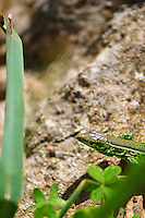 Green Lizard in Sardinia, Italy