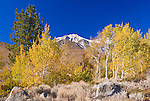 Fall aspens along Convict Creek, Sierra National Forest, Sierra Nevada Mountains, California