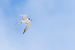 Common Tern in flight, De Hoop Marine Protected Area, Western Cape, South Africa