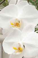 White orchids Phalaenopsis Oriental Dream showing closeup of two flowers