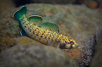 Greenfin Darter<br />