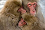 Japanese macaque family huddle together for warmth.