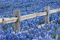 Another bluebonnet image from the series taken in the Texas Hill Country. This was an amazing field of blue around an old fence row.