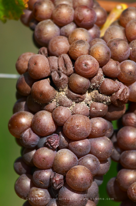 Grape bunch attacked by grey rot pinot gris dom g humbrecht pfaffenheim alsace france