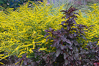 Physocarpus opulifolius Diablo + Solidago 'Fireworks', perennial fall autumn bloomers together in garden plant combination, yellow gold with purple dark foliage, contrasts