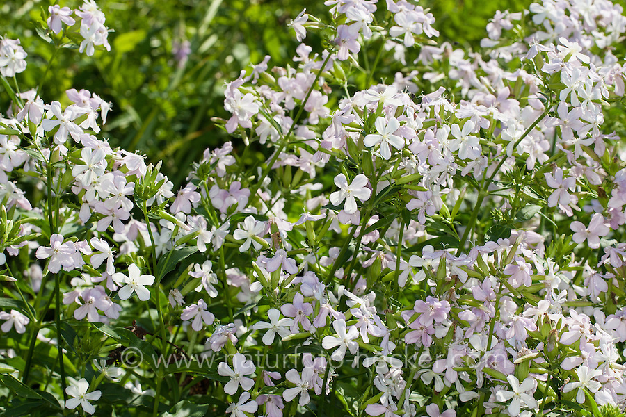 Gewöhnliches Seifenkraut, Echtes Seifenkraut, Seifenwurz, Saponaria officinalis, common soapwort, bouncing-bet, crow soap, wild sweet William, soapweed