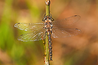 310880015 a wild male dot-winged baskettail dragonfly epitheca petechialis near caddo lake in marion county texas