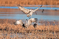 Sandhill Cranes landing