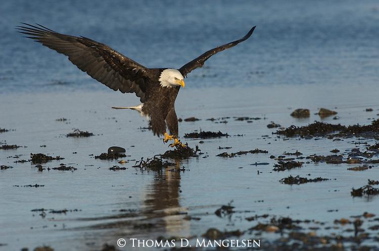 A bald eagle landing on shore in Homer, Alaska.