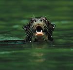Giant Otter, Reserva del Manu, Peru