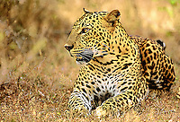 Sri Lanka. A young male leopard pauses to contemplate his next move.