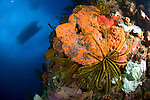 Crinoid and bright orange coral underneath a dive boat