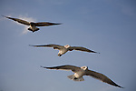 Group of gulls flying over the James River against a nice sky