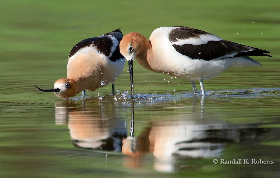 A female American Avocet (Recurvirostra americana) waits to mate while the male (right) splashes water as part of the mating ritual.