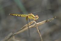 340420002 a wild female plateau dragonlet erythrodiplax basifusca perches on a dead plant stem in topock marsh near five mile landing in havasu national wildlife refuge mojave county arizona united states
