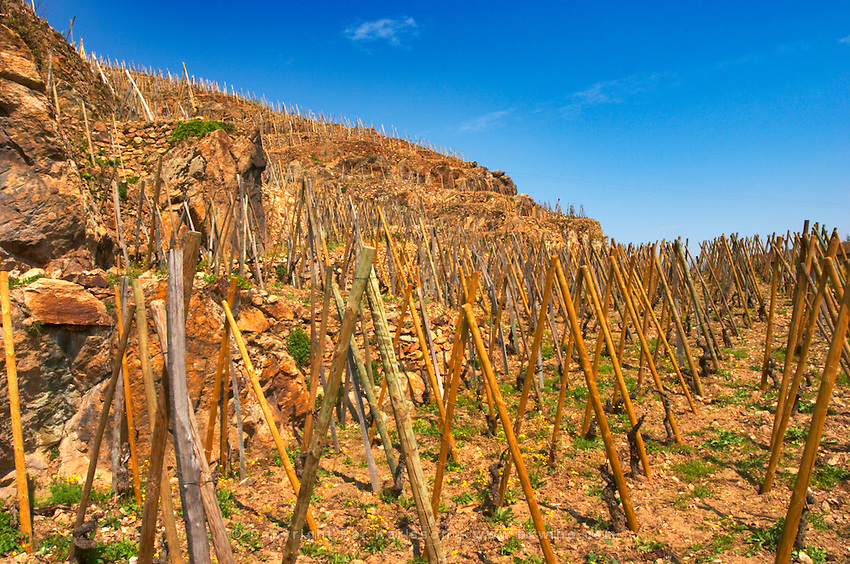 Syrah vines winter pruned trained in 'en echalat', with supporting wooden stakes Terraced vineyards in the Cote Rotie district around Ampuis in northern Rhone planted with the Syrah grape. Ampuis, Cote Rotie, Rhone, France, Europe